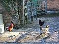 Chickens at Salterton Farm - geograph.org.uk - 691836.jpg