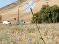 Chicory-m.jpg