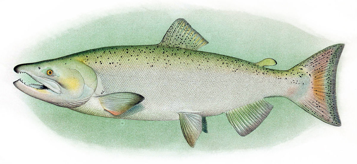 Chinook salmon wikipedia for Salmon fish pictures