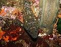 Chironemus marmoratus - Poor Knights Islands - 4329622578.jpg