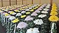 Chrysanthemum - panoramio.jpg