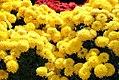 Chrysanthemum Janice 1zz.jpg