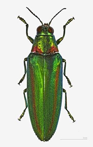 Chrysochroa rajah - Image: Chrysochroa rajah thailandica MHNT.ZOO.2004.0.520