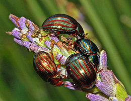 Chrysolina Americana Wikipedia