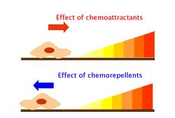 Chemotaxis Wikipedia