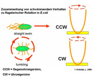 Zusammenhang von schwimmendem Verhalten zu flagelarischer Rotation in E.coli