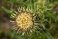 Cirsium parryi - Flickr - aspidoscelis.jpg