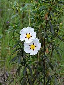 Image result for cistus ladanifer