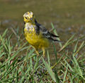 Citrine Wagtail (Motacilla citreola)- Breeding Male at Bharatpur I IMG 5745.jpg