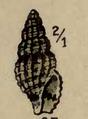 Clathromangelia fuscoligata 001.png