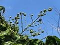 Clausena lansium - Fruit and Spice Park - Homestead, Florida - DSC09093.jpg