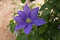 Clematis 'H. F. Young' IMG 0192.jpg
