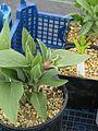 Clematis fremontii - Flickr - peganum (1).jpg