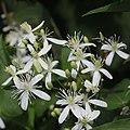 Clematis terniflora (flower s6).jpg