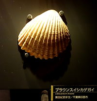 Clinocardium braunsi - National Museum of Nature and Science, Tokyo - DSC07683.JPG