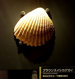 Clinocardium braunsi - National Museum of Nature and Science, Tokyo - DSC07683.JPG