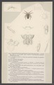Clotho - Print - Iconographia Zoologica - Special Collections University of Amsterdam - UBAINV0274 004 04 0010.tif