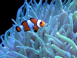 http://upload.wikimedia.org/wikipedia/commons/thumb/d/d8/Clown_fish_swimming.jpg/250px-Clown_fish_swimming.jpg