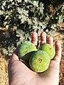 Cluster fig tree8.jpg