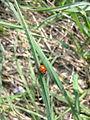 Coccinelle sur un brin d'herbe à Grez-Doiceau 001.jpg