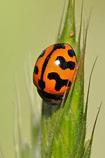 Coccinellid unusual pattern.jpg