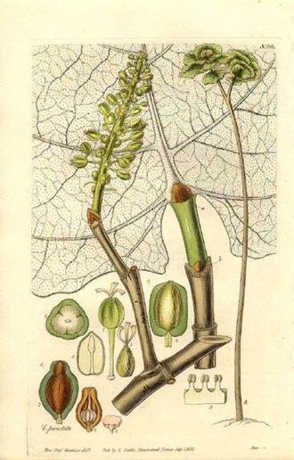 Coccoloba pubescens - Illustration, 1832