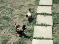 File:Cockfighting.ogv