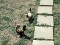 Arquivo: Cockfighting.ogv