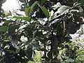 Coffea robusta-TNAU-yercaud-salem-India.JPG