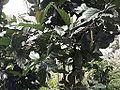 Coffea robusta-TNAU-yercaud-salem-India.JPG