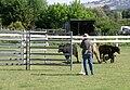 Collie cattle.JPG
