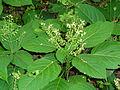 Collinsonia canadensis SCA-04274.jpg