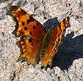 Comma Butterfly 2 (8040628819).jpg