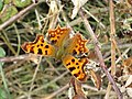 Comma butterfly by the Thames in Chimney Meadows National Nature Reserve - geograph.org.uk - 810297.jpg