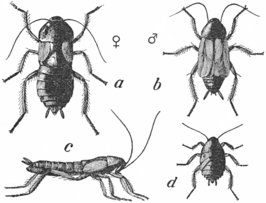 A= vrouwtje, B= mannetje, C= zijaanzicht vrouwtje, D= nimf