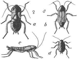 Common Cockroach - Project Gutenberg eText 16410.png