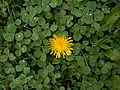 Common Dandelion (Taraxacum officinale) and White Clover (Trifolium repens) (10617191174).jpg