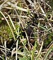 Common Goldenring. Cordulegaster boltonii (25203547808).jpg