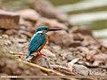 Common Kingfisher (Alcedo atthis) (43571347462).jpg