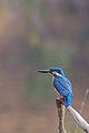 Common Kingfisher 02.jpg