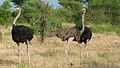 Common Ostriches (Struthio camelus) (6032057561).jpg