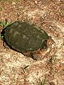 Common Snapping Turtle NC1.jpg