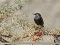 Common Starling (Sturnus vulgaris) (31079937666).jpg
