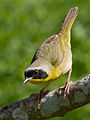 Common Yellowthroat 5.jpg
