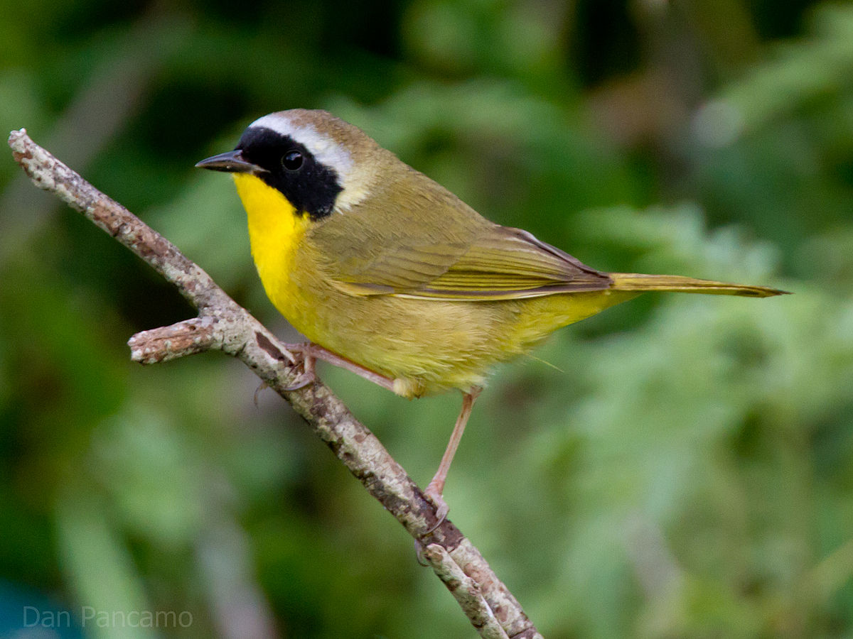 [Image: 1200px-Common_Yellowthroat_by_Dan_Pancamo.jpg]