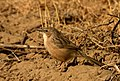 Common babbler jorbeed bikaner JEG4377 b.jpg