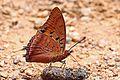 Common red charaxes (Charaxes lucretius lucretius).jpg