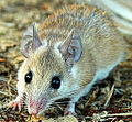 Common spiny mouse cropped.jpg