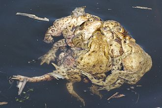 Common toad - The mating ball (multiple amplexus).