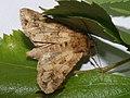 Conisania luteago - Barrett's marbled coronet - Семенная совка желтоватая (41066003221).jpg